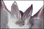 Bats (P)
