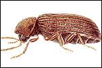 Biscuit Beetles