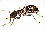 Black Ants (Lasius niger)