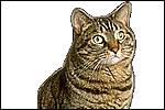 Feral Cat (Fells catus)