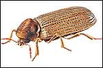 Furniture Beetle (Anobium punctatum)