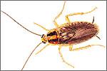 German Cockroach (Blattellci germanica)
