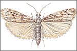 Brown Tailed Moth (Euproctis chrysorroea)