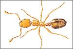 Pharaoh's Ants (Monomorium pharaonis)