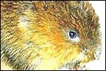 Water Vole (Arvicola terrestris) (P)